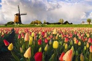Тюльпановый бум