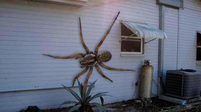 гигантский ангольский паук