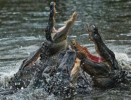 крокодилы-6