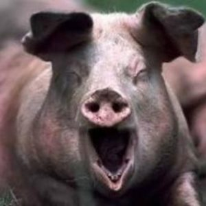 свиньи-1