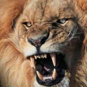 Лев - царь зверей-1